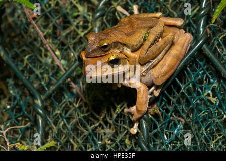 Spot-legged Tree Frog mating - Stock Photo