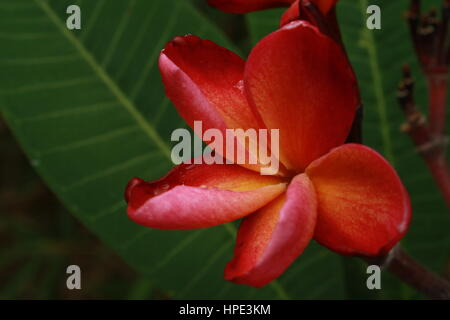 Plumeria tree against deep blue sky, cloudless. Deeply scnted flowers. Tropical favourite/favorite - Stock Photo