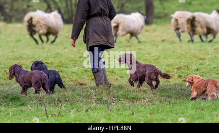Pets: Four well behaved spaniels off lead with owner as sheep run away in the field, UK - Stock Photo