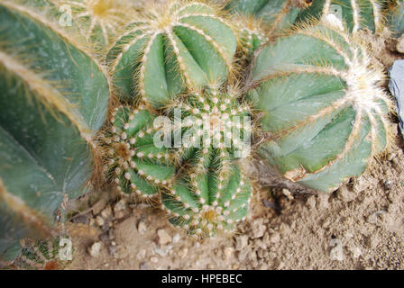Parodia magnifica is a species of flowering plant in the Cactaceae family, native to southern Brazil. - Stock Photo
