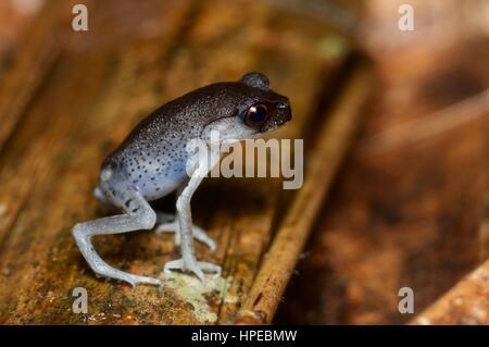 A Spotted Litter Frog (Leptobrachium hendricksoni) on the forest floor at night in Ulu Semenyih, Selangor, Malaysia - Stock Photo