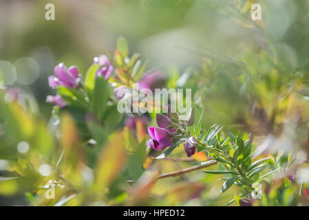 Delicate spanish spring flowers blossom with soft focus - Stock Photo