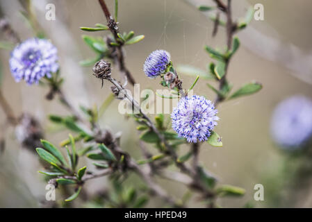 Spanish spring plants blosssom with violet flowers - Stock Photo