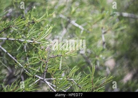 Green spanish pine in February - Stock Photo