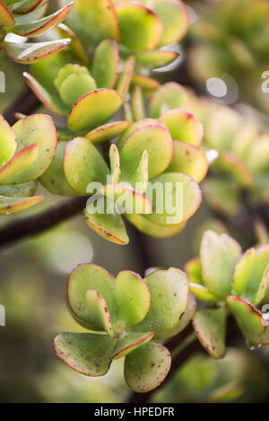 Green spanish succulents in February sun in macro perspective - Stock Photo