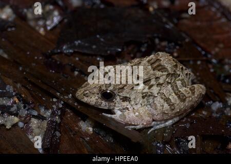 An Asian Grass Frog (Fejervarya limnocharis) in the rainforest at night in Ulu Semenyih, Selangor, Malaysia - Stock Photo