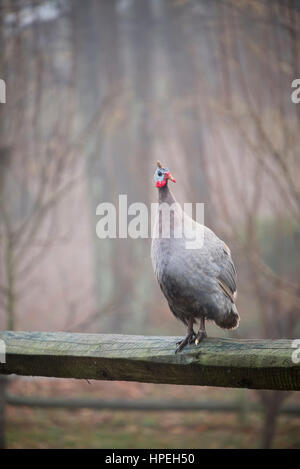 Guinea Fowl on fence rail - Stock Photo