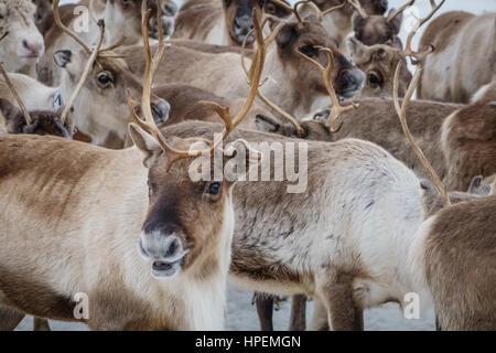 Reindeer herd, Reindeer herding, The Laponian Area, a World Heritage Location, Northern Sweden - Stock Photo