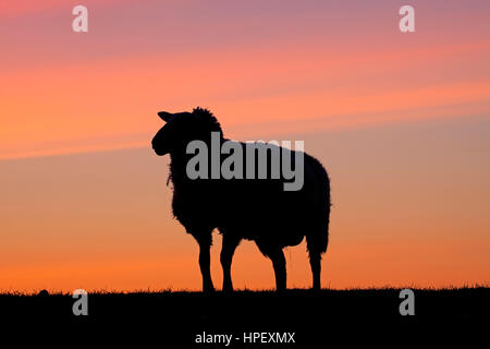 East Friesian / Ostfriesische Milchschaf, breed of dairy sheep silhouetted against sunset, Germany - Stock Photo