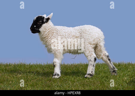 Black and white domestic sheep lamb in meadow, North Frisia, Schleswig-Holstein, Germany - Stock Photo