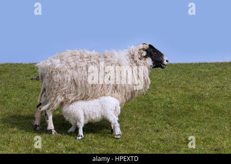 Domestic sheep ewe with suckling lamb in meadow - Stock Photo
