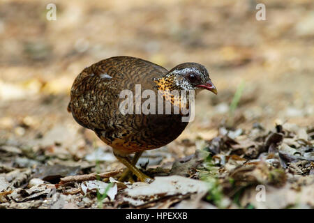 green-legged partridge, Arborophila chloropus, Kaeng Krachan, Thailand, Asia - Stock Photo