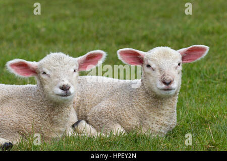 Two white lambs of domestic sheep lying side by side in meadow - Stock Photo