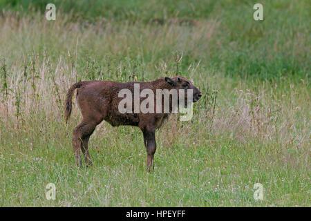 European bison / wisent / European wood bison (Bison bonasus) calf in grassland - Stock Photo