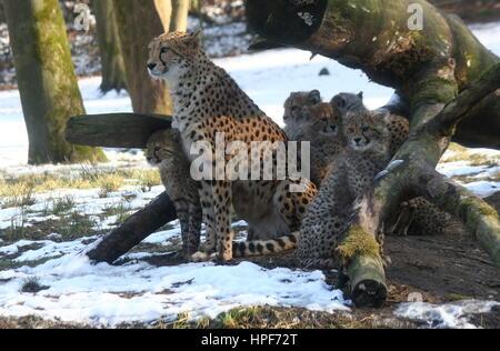 Mature female African Cheetah (Acinonyx jubatus)  with her offspring in winter. - Stock Photo