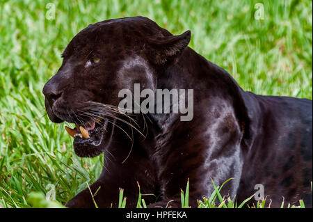 Male Black jaguar (Panthera onca), also called Panther, is a melanic variation of the jaguar. It's kind of carnivorous - Stock Photo