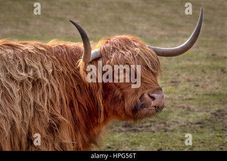 A close up detailed profile portrait of a highland cow bull  with its head slightly turned looking towards the viewer - Stock Photo