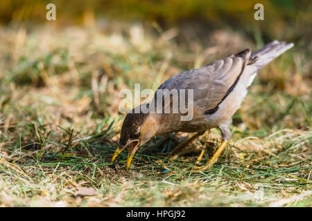 Brahminy Starling on grass to find foods - Stock Photo
