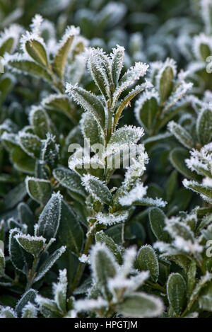 Hoar or rime frost, ice crystals on the leaves of a box bush, Buxus semperviirens, in a garden hedge in winter - Stock Photo