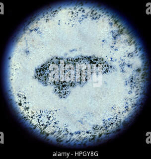 A simulated view through a microscope on bacterias in the shape of Honduras.(series) - Stock Photo