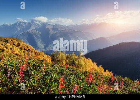 Blooming rhododendron flowers in Caucasus mountains. Upper Svanety, Georgia, Europe - Stock Photo