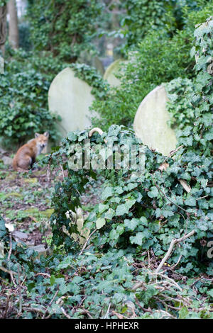 Fox sitting in amongst the Graves at Highgate Cemetery, London, England - Stock Photo