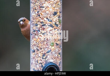 Adult Male Chaffinch searched on a bird feeder - Stock Photo