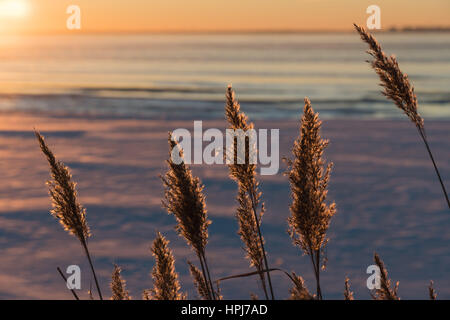 Group of fluffy reeds flowers in back light by winter sunset - Stock Photo