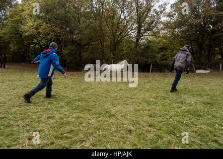 Wales, United Kingdom. October 18 2016.   Carneddau ponies are pictured in snowdonia national park - their native - Stock Photo
