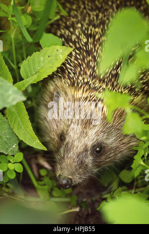 Wild hedgehog in green leaves. Shallow depth of field - Stock Photo