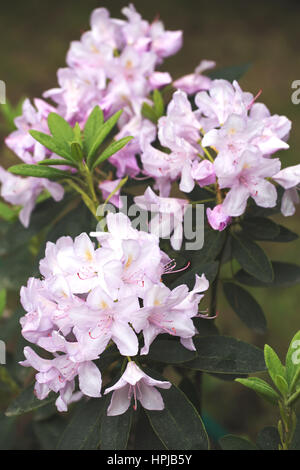 Blossoming rhododendron flowers in botanical garden in spring - Stock Photo