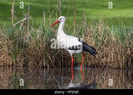 White stork (Ciconia ciconia) foraging in shallow water of brook - Stock Photo