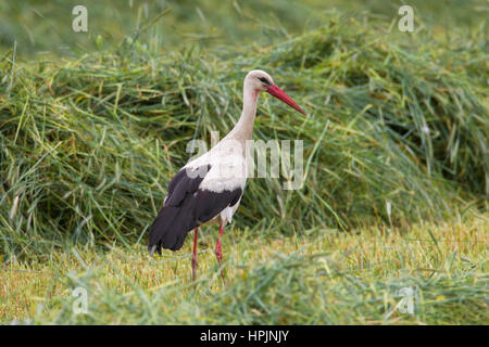White stork (Ciconia ciconia) foraging in grassland in summer - Stock Photo