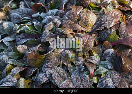 Kriechender Günsel, Blatt, Blätter vor der Blüte, Ajuga reptans, bugle, blue bugle, bugleherb, bugleweed, carpetweed, - Stock Photo