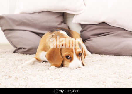 Sad beagle puppy on soft carpet. Dog play on floor. Beagle dog indoors. Color background with dog. - Stock Photo