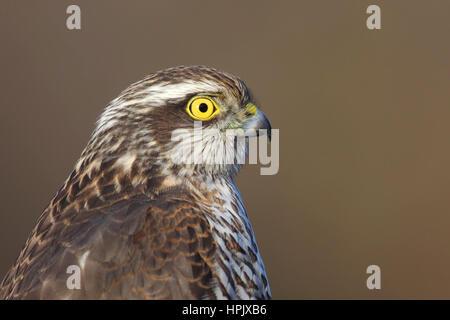 Northern sparrowhawk (Accipiter nisus), portrait, Siegerland, North Rhine-Westphalia, Germany - Stock Photo