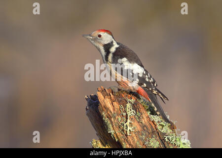 Middle Spotted Woodpecker (Dendrocopos medius) sitting on tree trunk, Siegerland, North Rhine-Westphalia, Germany - Stock Photo