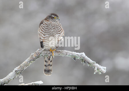 Northern sparrowhawk (Accipiter nisus), female sitting at freezing temperature on Branch, Siegerland, North Rhine - Stock Photo
