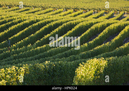 Blenheim, Marlborough, New Zealand. Undulating rows of vines in a typical vineyard near Renwick, early morning. - Stock Photo