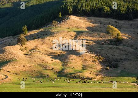 Linkwater, Marlborough, New Zealand. Hillside lit by the setting sun, cattle grazing on valley floor. - Stock Photo