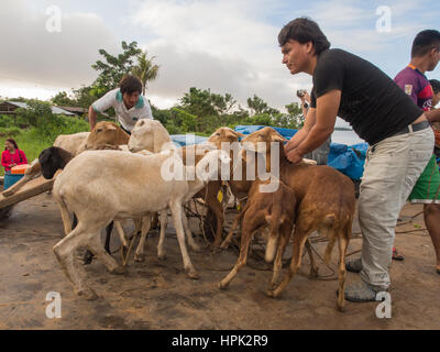 Amazon River, Peru - May 13, 2016: Goats on a deck of a cargo boat  on the Amazon River - Stock Photo