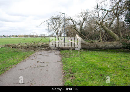 London, UK. 23rd Feb, 2017. A large fallen tree blocking access to a path following a storm at Northwick Park. Credit: - Stock Photo