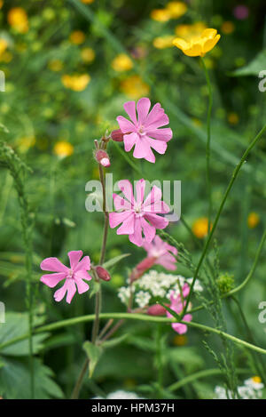 silene dioica flower - Stock Photo