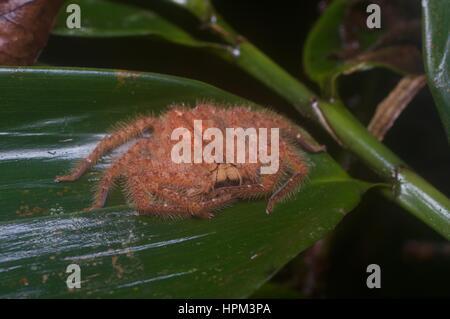 A David Bowie Spider (Heteropoda davidbowie) on a leaf in the rainforest in Ulu Semenyih, Selangor, Malaysia - Stock Photo