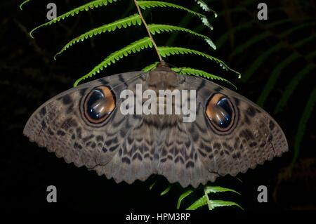 A Walker's Owl moth (Erebus macrops) on a fern in the rainforest at night in Fraser's Hill, Pahang, Malaysia - Stock Photo