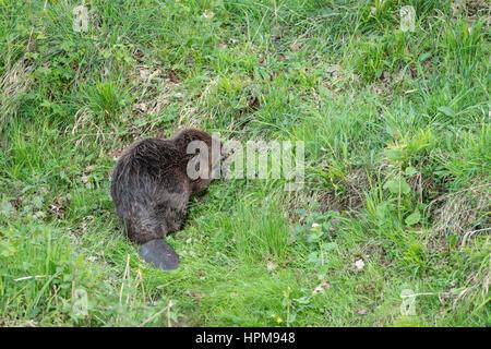 Beaver. Castor fiber. - Stock Photo