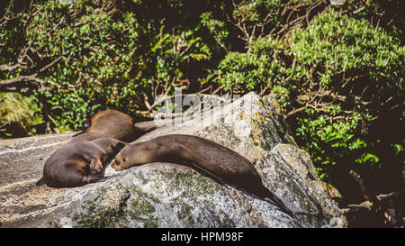 Seals resting on a rock, Milford Sound - Stock Photo