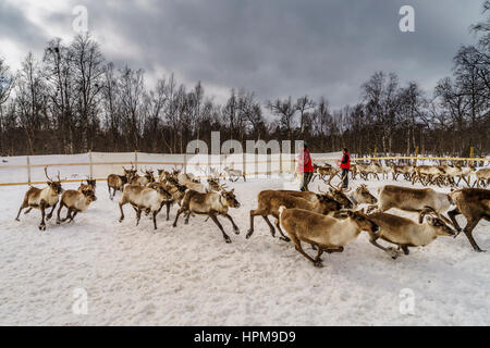 Reindeer Herding, The Laponian Area, a world heritage location, Northern Sweden - Stock Photo