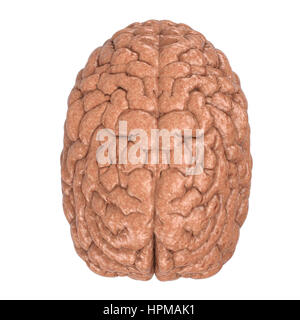 3d rendering human brain isolated on white - Stock Photo