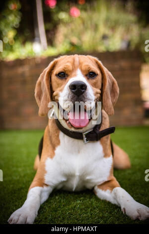 cute beagle laying down - Stock Photo